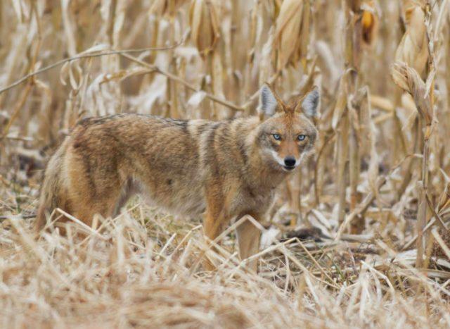 la cruza de un chucho y un coyote nombrada coydog
