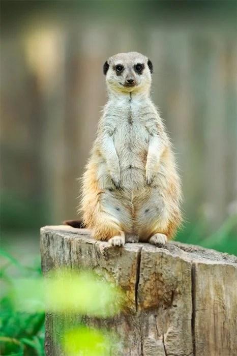 suricata con clara muestra de embarazos