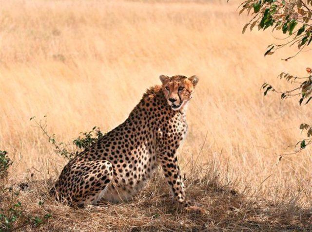 El felino más ágil, guepardo hembra preñada