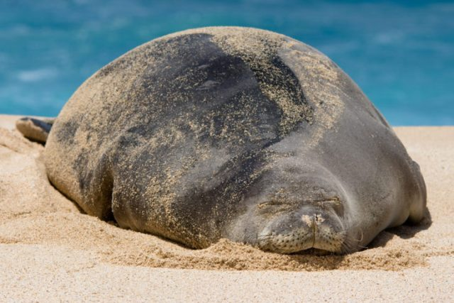 gran foca monje encinta tirada en la playa