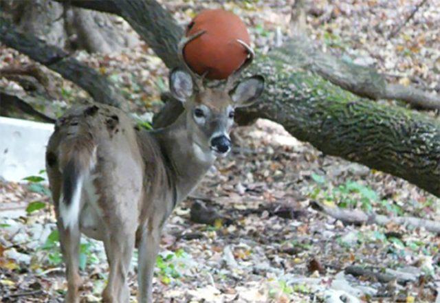 ciervo con un balón atorado en la cornamenta