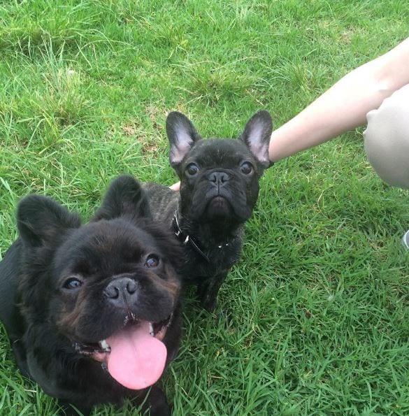 perro y su amigo bull dog francés