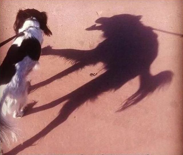 Perro cuya sombra semeja un lobo