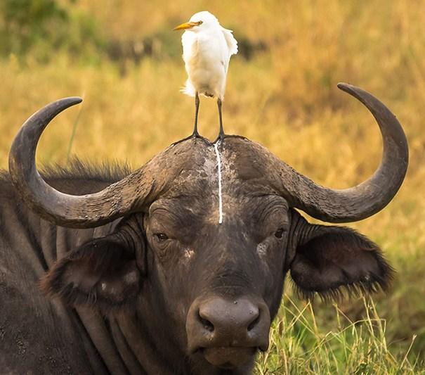 pájaro le hace popó al búfalo