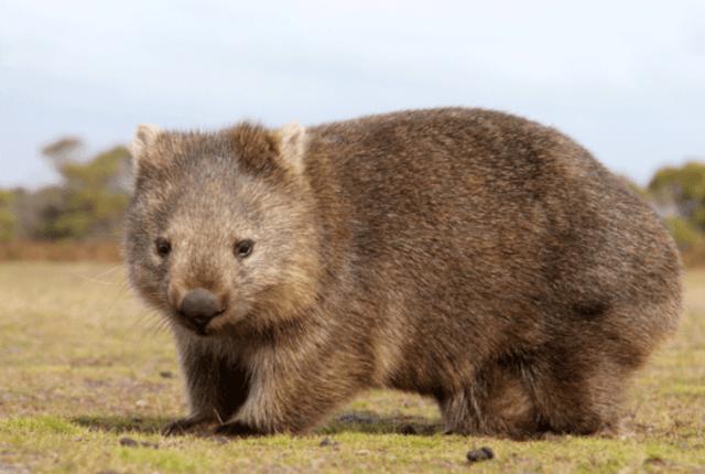 wombat animal raro