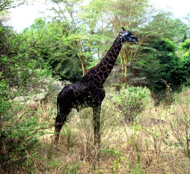 jirafa color negro
