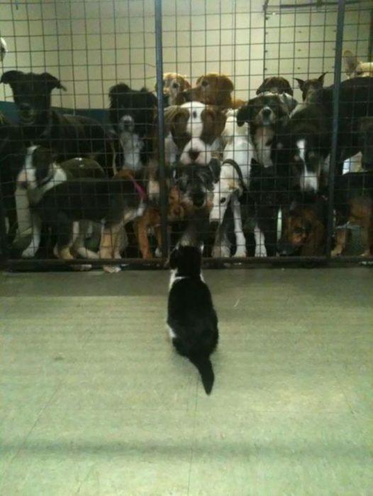 Gato parado frente a muchísimos perros. Ellos están en una jaula