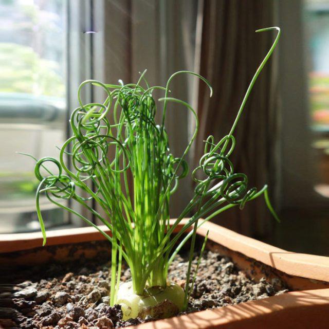 Moraea Tortilis planta