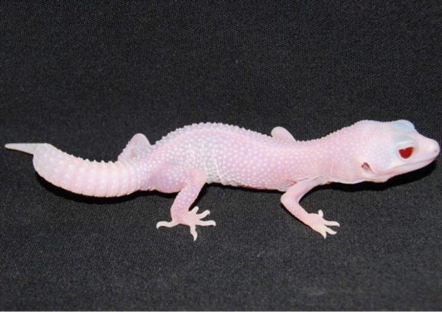 pequeño reptil geco albino