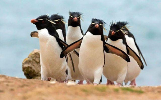 pingüinos caminando en conjunto con las alas abiertas