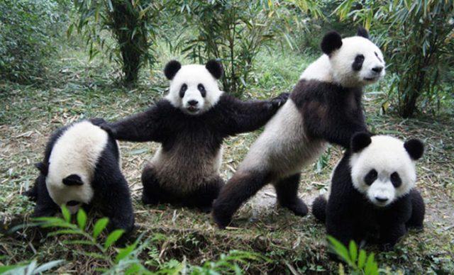 grupo de pandas posando para la foto
