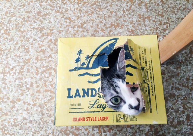 gato saliendo de una caja