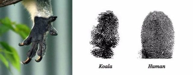 los koalas poseen huellas digitales iguales a los humanos