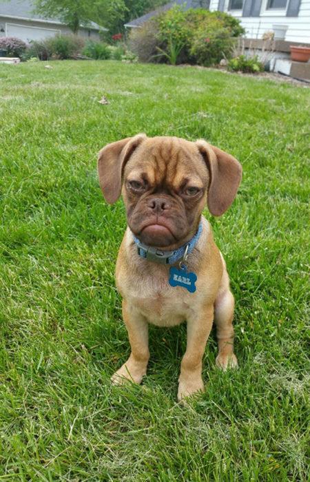 cachorro café molesto tierno