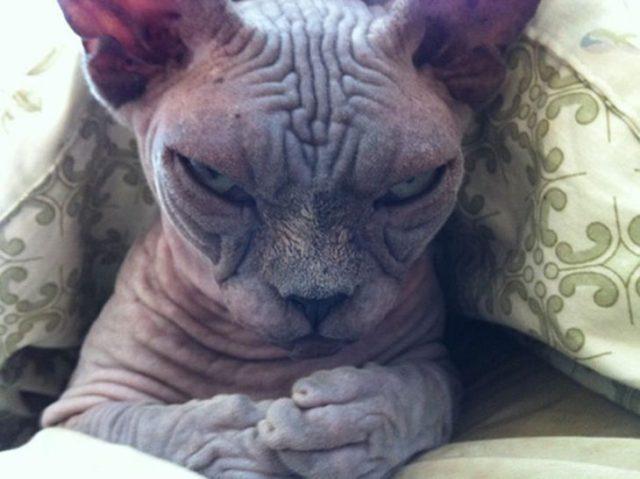 gato pensativo molesto dominación mundial
