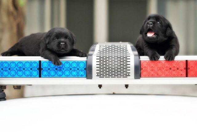 par de perros negros