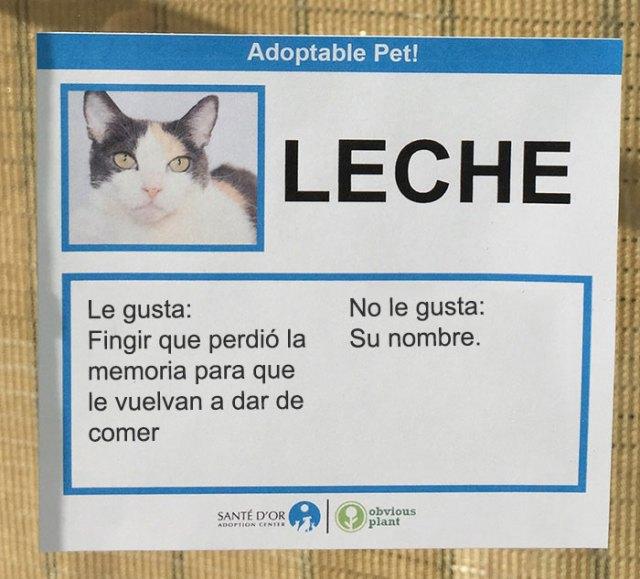 gato leche descripción gato en adopción