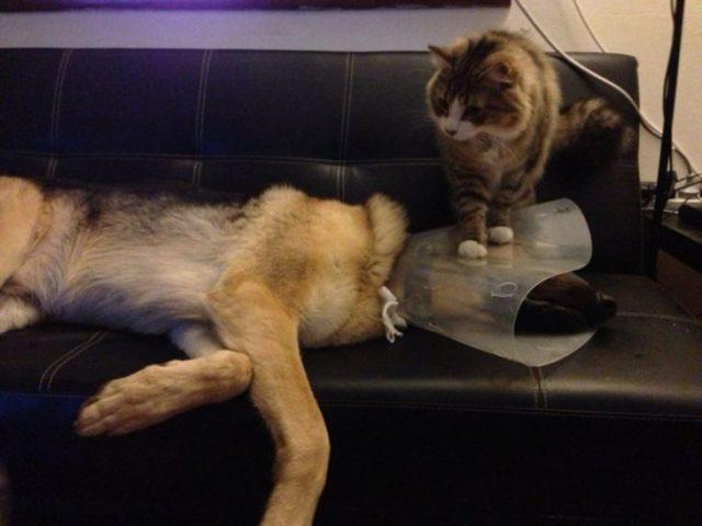 gato aplastando a un humano