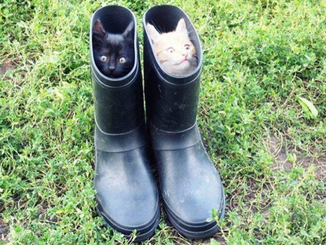 Gatos tiernos negro y blanco ocultos en botas