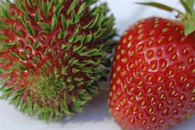 fresas germinadas