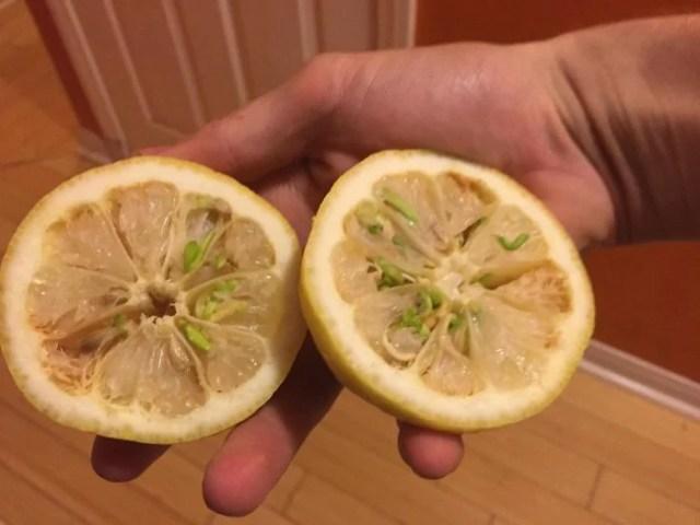algunas semillas comenzaron a brotar dentro de ésta lima