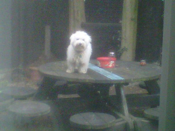 perro en la mesa