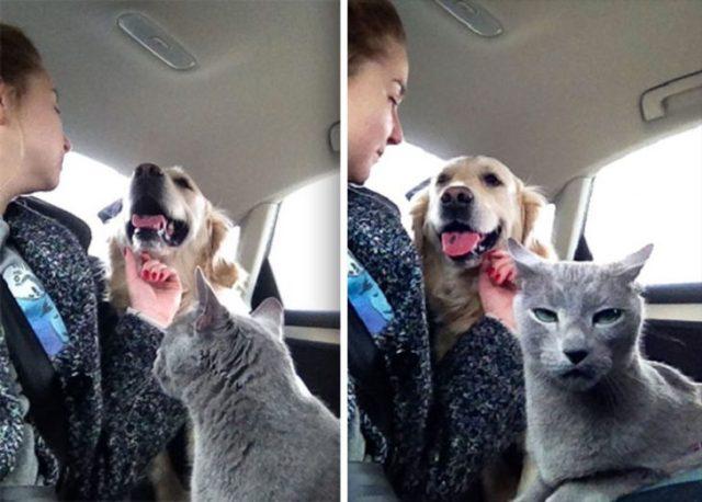 gato celoso de perro