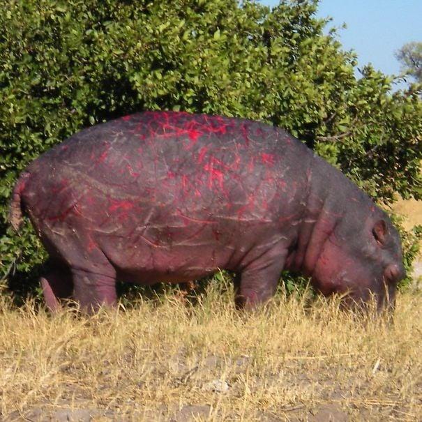 rinoceronte arañado