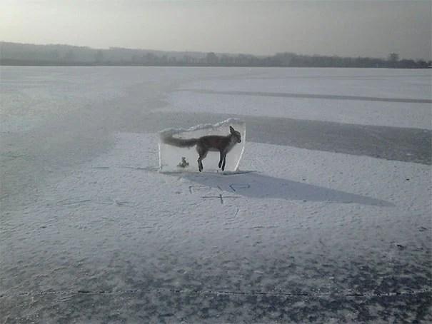 zorro congelado