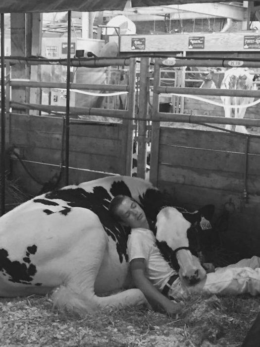 Se queda dormido con su vaca