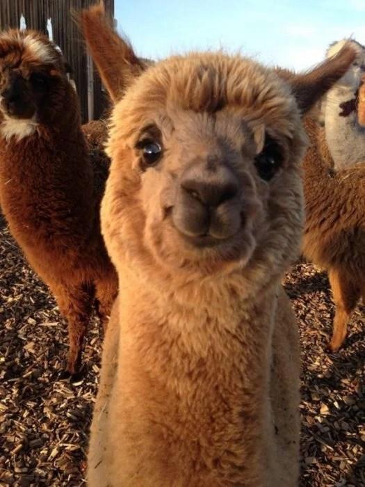 alpaca feliz