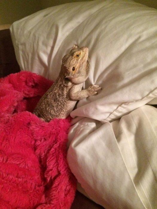 iguana en su almohada