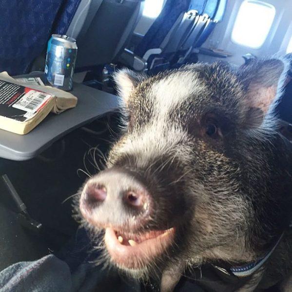 Cerdos viajando