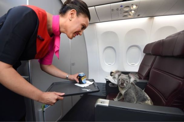 Koala primera clase