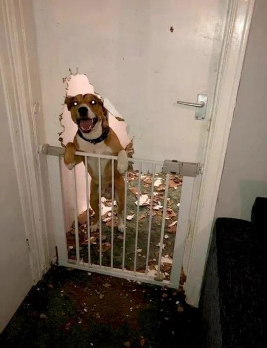 perro desbarató una puerta