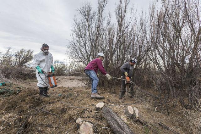 Removiendo Tamarisco(Tamarix) con motosierra y aplicando herbicida para evitar que rebrote en Reserva Humedal Llancanello Mendoza