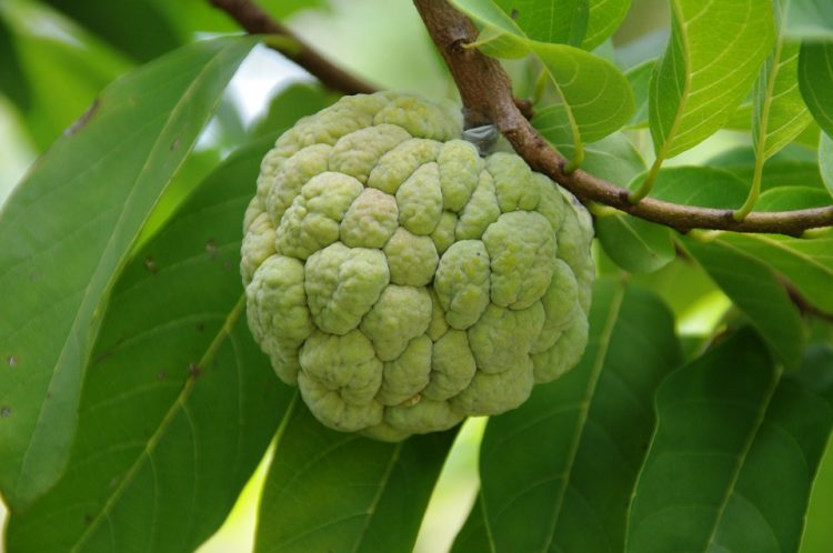 Cherimoya Benefits - Tree, Seeds and How to Eat