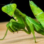 praying mantis meaning