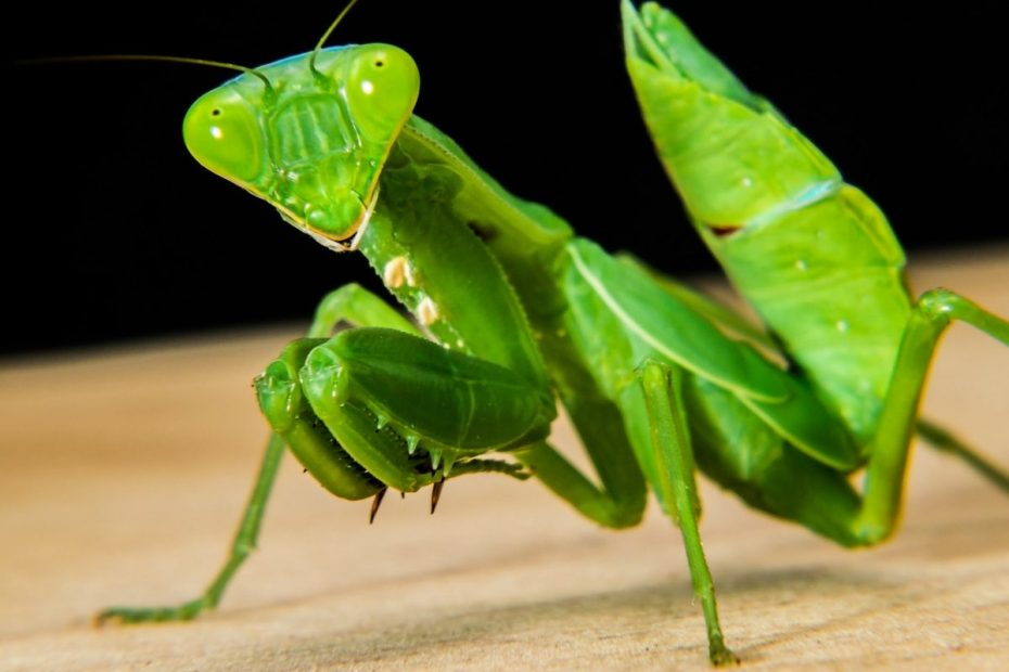 praying mantis meaning