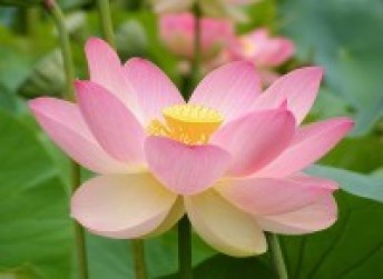 Indian lotus flower