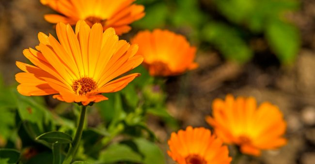 October gives marigold special meaning