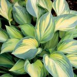 How to care for hostas in the fall