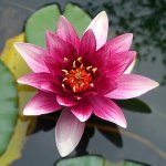 Lotus flower meaning in christianity