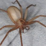 What to do if you find a brown recluse in your home
