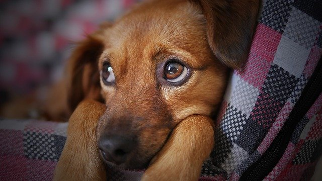 When To Put A Dog Down With Cushing's Disease?