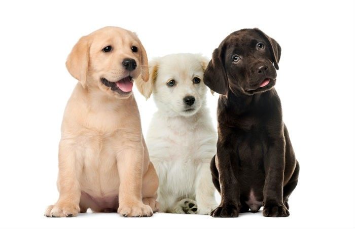 A breeder provides a pedigree as standard