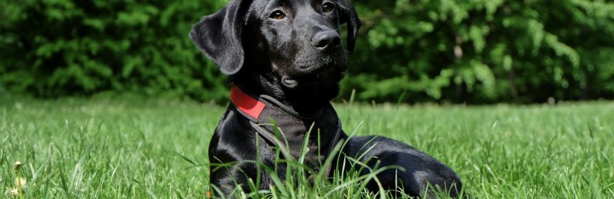How Much Does A Black Lab Cost 2
