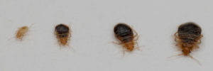 bed-bug-babies-sizes