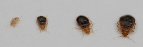 Bed Bug Babies Sizes Red Bed Bugs