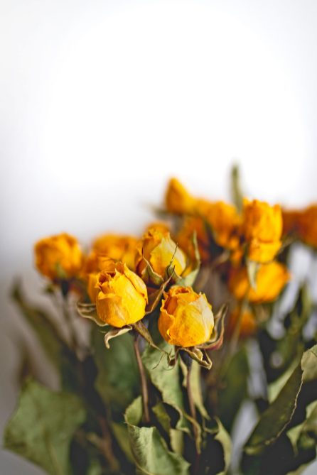 dried-roses-1799303